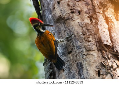 Greater flameback woodpecker or  Large golden-backed woodpecker  (Chrysocolaptes guttacristatus) clinging on tree trunk, looking for food, bokeh forest background. Woodpeckers looking for food