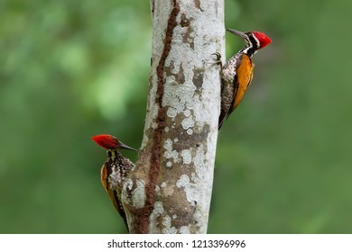 Greater flameback woodpecker or Large golden-backed woodpecker exploring and eating termites. Two Woodpeckers looking for food inside the wood help pest control in nature
