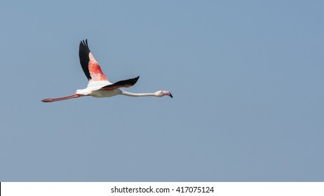 Greater flamingo - Bahrain