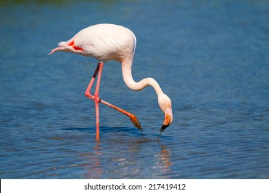 Greater flamingo in Camargue, France