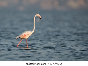 Greater Flamingo during low tide at Eker creek, Bahrain