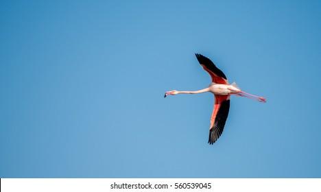 Greater Flamingo in flight-Bahrain