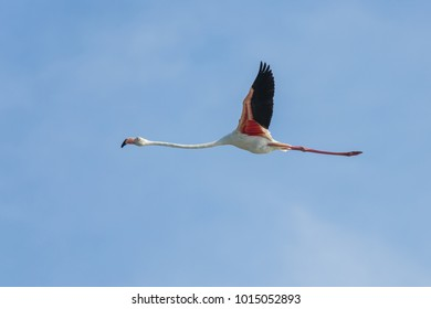 Greater flamingo flying, Phoenicopterus roseus