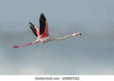 greater flamingo flying in po delta