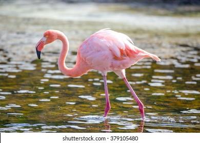 Greater Flamingo, Galapagos islands, Ecuador