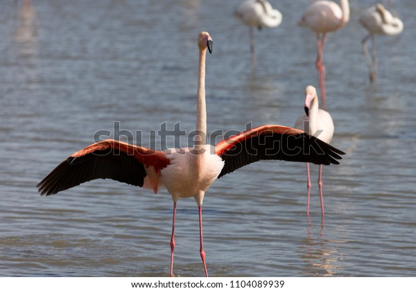 Greater Flamingo in Marsh on French Mediterranean coast