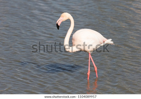 Greater Flamingo in Marsh on French Mediterranean coast