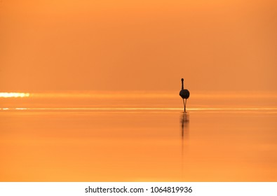 Greater Flamingo in the morning, Asker, Bahrain