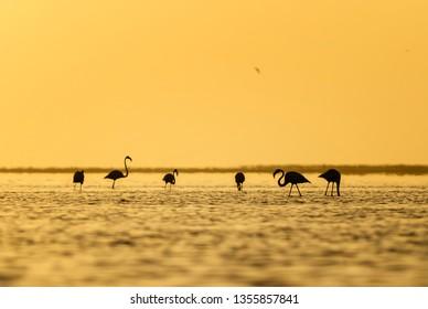 Greater Flamingo - Phoenicopterus roseus, beautiful water bird from southern Africa sea coast, Walvis Bay, Namibia.