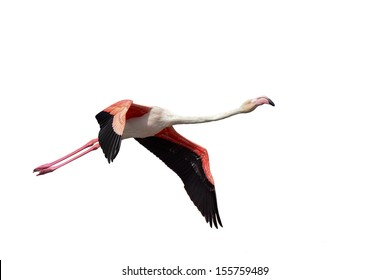 Greater Flamingo, Phoenicopterus roseus flying over the salt works just north of Swakopmund, Namibia. Isolated on a white background, copy space.
