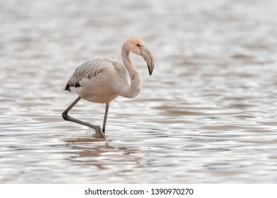 Greater Flamingo (Phoenicopterus roseus) - Juvenile