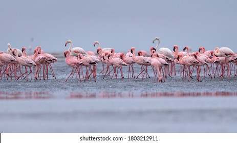 Greater flamingo (Phoenicopterus roseus) and lesser flamingo (Phoeniconaias minor) in Walvisbaai, Namibia.