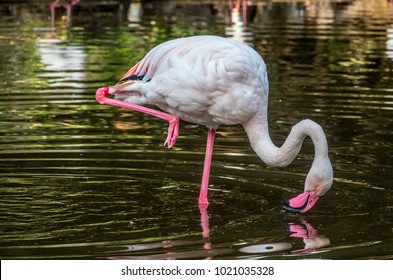 greater flamingo, Phoenicopterus roseus is the most widespread species of the flamingo family.