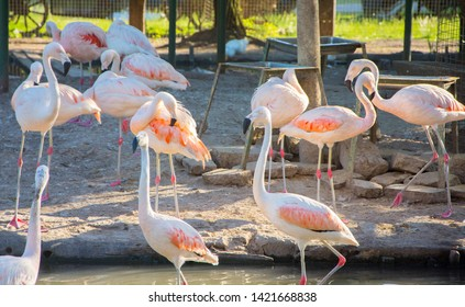 Greater Flamingo (Phoenicopterus roseus) on the wate