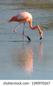 Greater Flamingo (Phoenicopterus roseus) - Reflection