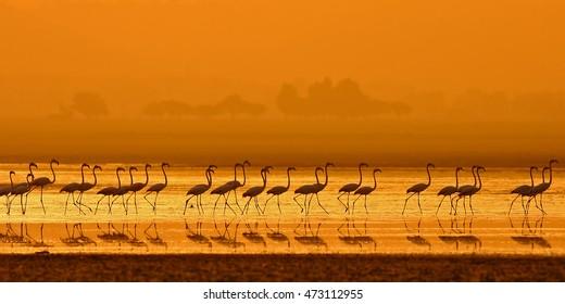Greater Flamingo ( Phoenicopterus roseus) walking in lake at sunrise time.