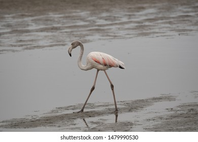 The greater flamingo (Phoenicopterus roseus) walks through the silt of the Atlantic Ocean at Walvisbay in Namibia in search of food at low tide.