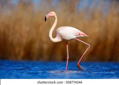Greater Flamingo, Phoenicopterus ruber, beautiful pink big bird in dark blue water, with evening light, reed in the background, animal in the nature habitat, Camargue, France.
