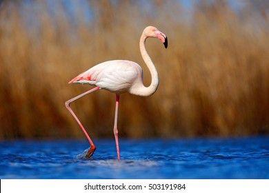 Greater Flamingo, Phoenicopterus ruber, beautiful pink big bird in dark blue water, with evening sun, reed in the background, animal in the nature habitat, Turkey.