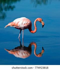 Greater Flamingo (Phoenicopterus ruber) on the island of Floreana in Galapagos Islands, Ecuador.