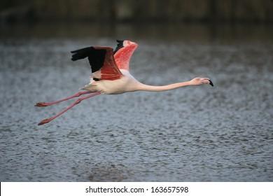 Greater flamingo, Phoenicopterus ruber, single bird in flight, France