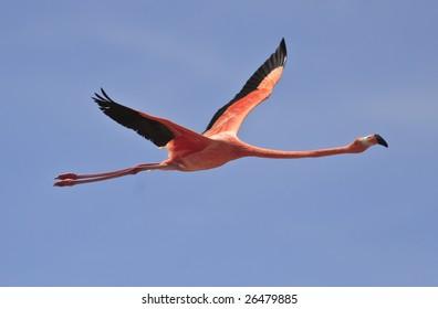 Greater Flamingo (phoenicoterus rubber) on the island of Bonaire