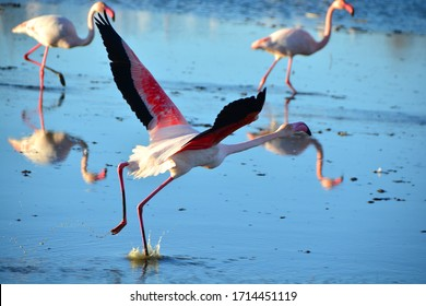 A Greater Flamingo running on water