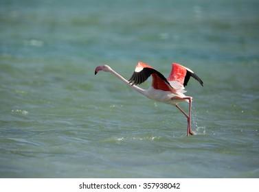 Greater Flamingo takeoff