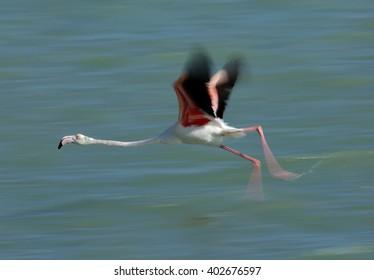 Greater Flamingo taking flight