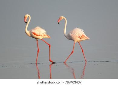 Greater Flamingo wading in water, Tanzania, Africa.