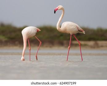Greater Flamingoes (Phoenicopterus roseus) in Camargue