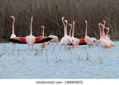 Greater Flamingo`s El Hondo National Park Spain.