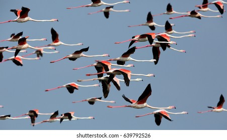 Greater Flamingos in flight at Aker creek, Bahrain