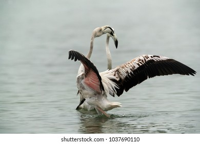 Greater Flamingos Juvenile friendly fight at Asker coast, Bahrain
