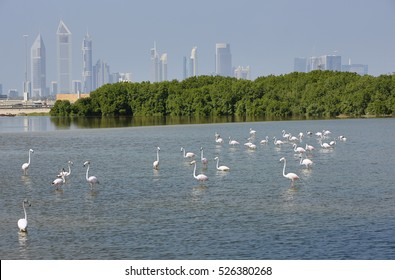 Greater flamingo's (Phoenicopterus rosens) with in the background the skyline of Dubai, United Arab Emirates