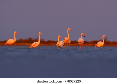 Greater Flamingos, Phoenicopterus ruber, nice pink big birds, Camargue, France. Wildlife scene from wild nature. Flock of birds walking in the water.