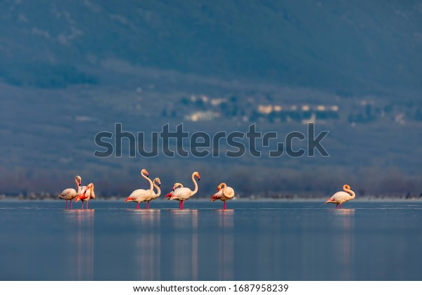 Greater flamingos stand in the shallow water of the Kerkini lake. A wild bird from Greece.