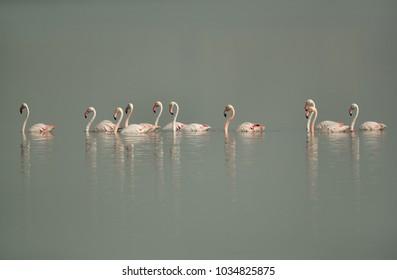 Greater Flamingos swimming at Eker creek, Bahrain