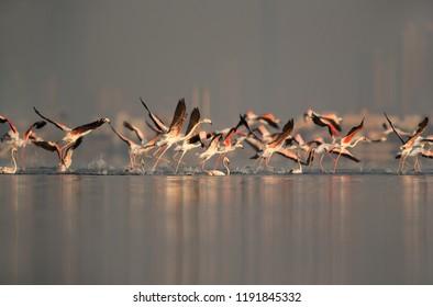 Greater Flamingos takeoff at Aker coast, Bahrain