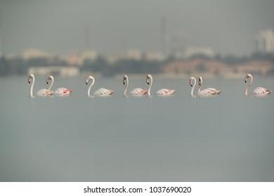 Greater Flamingos wading, Bahrain