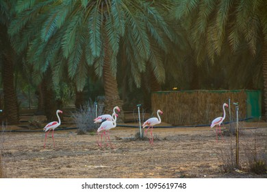 Greater flemingos in open field