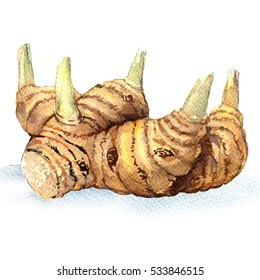 Greater galangal root isolated, watercolor illustration on white