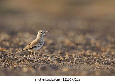 A greater hoopoe-lark (Alaemon alaudipes) foraging in the morning sun on the island of Cape verde Africa.