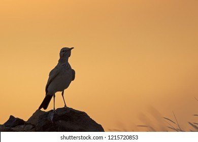 A greater hoopoe-lark (Alaemon alaudipes) in the golden morning sun on the island of Cape verde Africa.