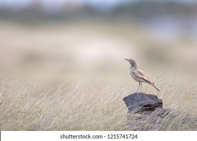 A greater hoopoe-lark (Alaemon alaudipes) perched on a big rock in the morning sun on the island of Cape verde Africa.