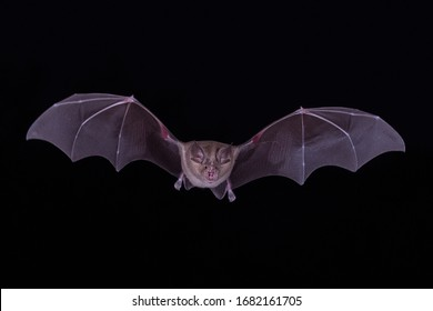 Greater Horseshoe Bat Night Hunting