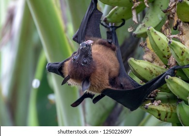 greater indian fruit bats of sri lanka