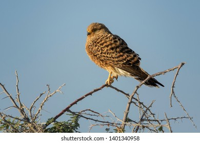 Greater Kestrel - Falco rupicoloides, beautiful small bird of prey from African savannas and forests, Etosha National Park, Namibia.