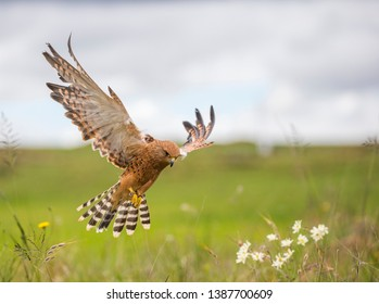 Greater kestrel hovering above flowers and grass