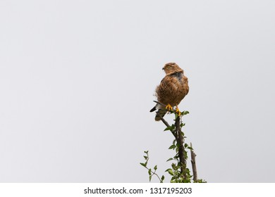 Greater Kestrel in Serengeti Grasslands of Tanzania